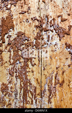 Bark of a pine was eaten by larvae of a bug of the bark termites beetle background. - Stock Photo