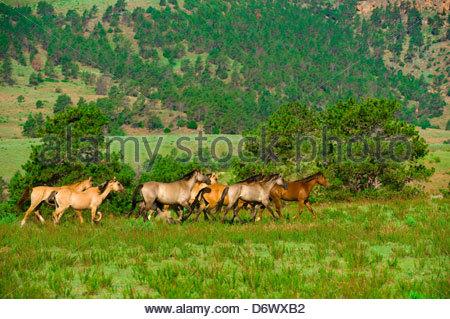 Wild mustangs, Black Hills Wild Horse Sanctuary, Hot Springs, South Dakota USA - Stock Photo