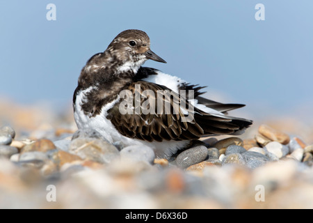 A winter plumage Turnstone preening - Stock Photo