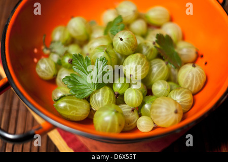 Handpicked gooseberries in an orange colander on a table - Stock Photo
