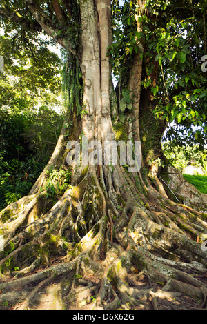 Large Ficus tree in primary tropical rainforest with buttress roots, Ecuador - Stock Photo