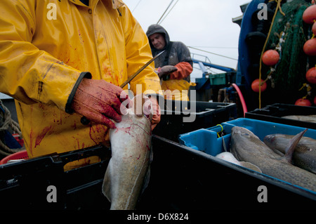 Fisherman cleans Atlantic Cod fish (Gadus morhua) on deck of fishing dragger. Stellwagen Banks, New England, United - Stock Photo