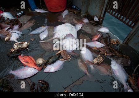 Bycatch of Little Skate (Leucoraja erinacea), Yellowtail Flounder (Limanda ferruginea), Red Snapper (Lutjanus campechanus) - Stock Photo