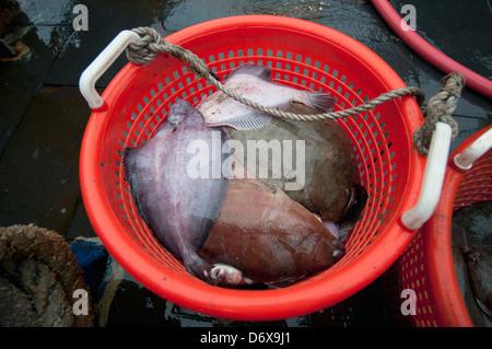 Yellowtail Flounder (Limanda ferruginea) waiting to be measured on deck of fishing dragger. Stellwagen Banks, New - Stock Photo