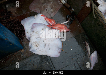 Bycatch of Little Skate (Leucoraja erinacea) and Red Snapper (Lutjanus campechanus) on deck of fishing dragger. - Stock Photo