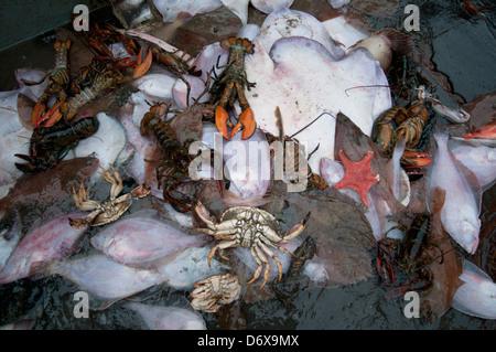 Bycatch of American lobster (Homarus americanus), Brown Crab (Cancer pagurus), Little Skate (Leucoraja erinacea) - Stock Photo