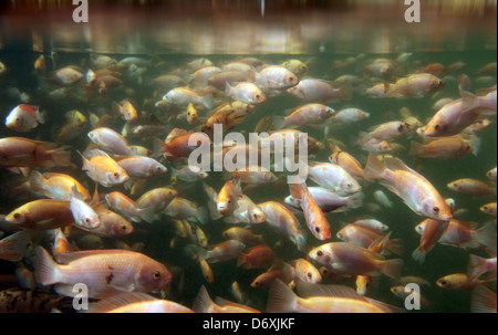 Tilapia underwater at a fish farm - Stock Photo