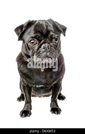 Black pug, sitting - Stock Photo