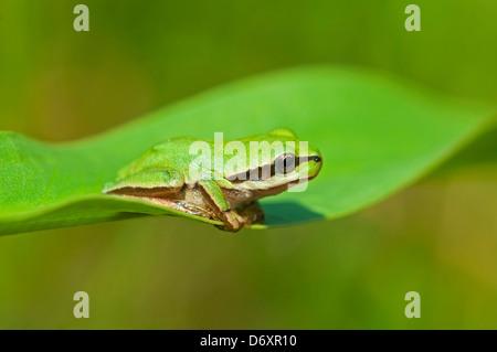 Tree frog Camouflaged on Leaf - Stock Photo