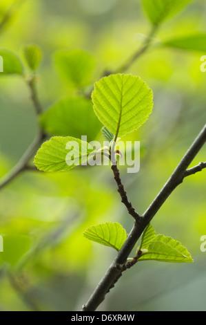 Fresh alder leaves in spring - Alnus glutinosa - Stock Photo