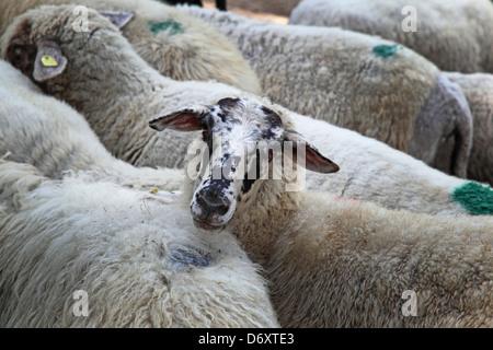 staring alone sheep - Stock Photo