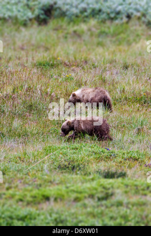 Two Grizzly bear cubs (Ursus arctos horribilis) near Stony Dome and Highway Pass, Denali National Park, Alaska, - Stock Photo