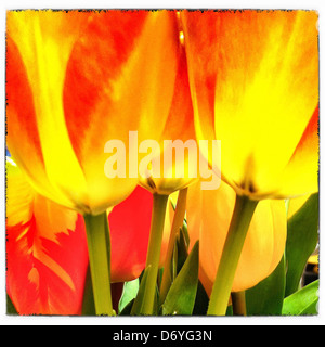 Close up of yellow and red tulips - Stock Photo