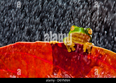 Little green tree frog sitting on red leaf in rain