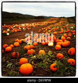 Pumpkins growing in patch - Stock Photo