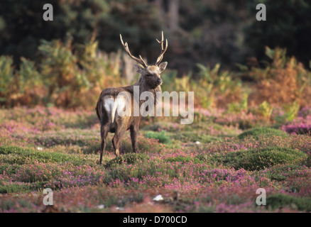 A sika stag on a heathland Dorset UK - Stock Photo