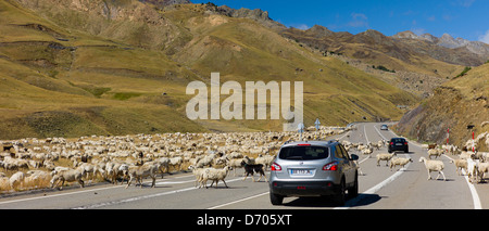 Mountain sheep and goats roam in front of Nissan Qashgai 4x4 car in Val de Tena, the Spanish Pyrenees, Northern - Stock Photo