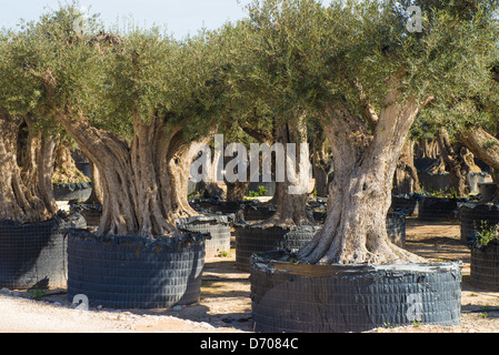 Old olive trees with twisted trunks on sale for gardening - Stock Photo