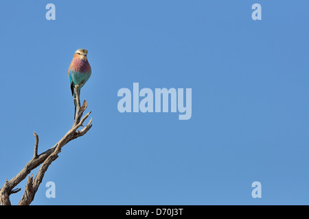 Lilac-breasted Roller (Coracias caudata), perched on a branch, Kgalagadi Transfrontier Park, Northern Cape, South - Stock Photo