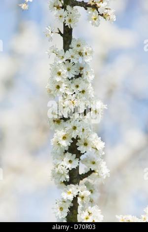Prunus Spinosa Plena. Double flowered Blackthorn / Sloe tree blossom - Stock Photo