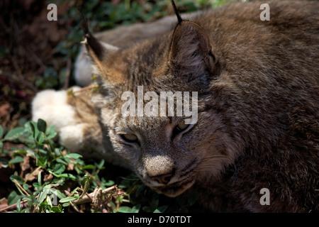 USA, Arizona, Williams, Bearizona Wildlife Park, Portrait of Canadian Lynx (Lynx Canadensis) - Stock Photo