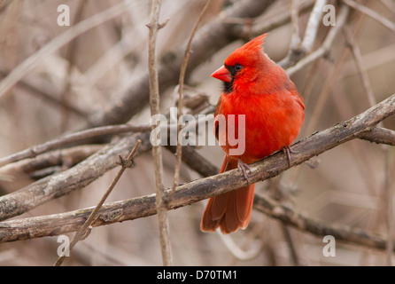 Northern Cardinal male in spring plumage. - Stock Photo