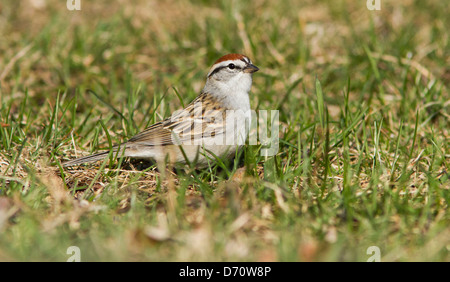 Chipping Sparrow (Spizella passerina) in spring - Stock Photo