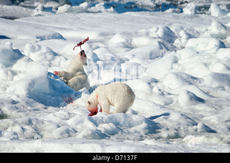 #10 in a series of images of a mother Polar Bear, Ursus maritimus, stalking a Seal to feed her twin Cubs, Svalbard, - Stock Photo