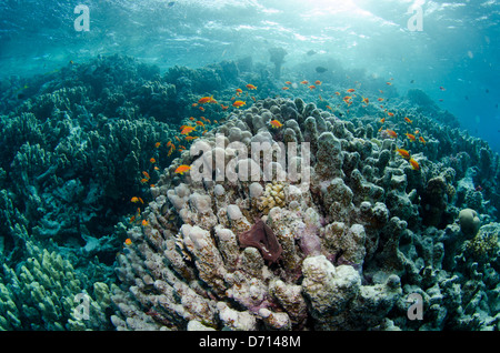 Sea Goldies swimming on a reef in the Red Sea in Egypt. - Stock Photo
