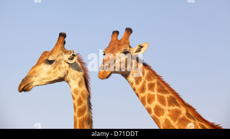 A pair of giraffes (Giraffa camelopardalis) in the Kruger National Park, South Africa. - Stock Photo