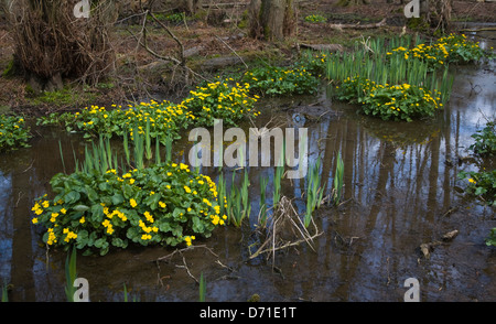 Caltha palustris, Kingcup or Marsh Marigold, yellow flowers with Flag Iris green leaves, Hollesley, Suffolk, England - Stock Photo