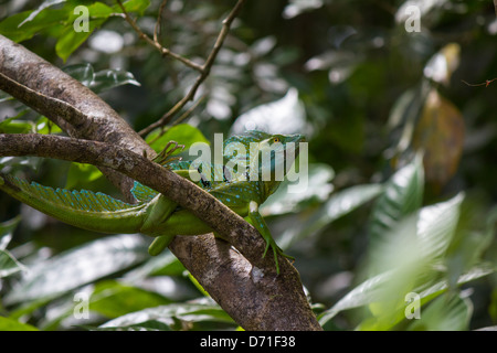 Green Basilisk (Basiliscus plumifrons), Plumed Basilisk, Double Crested Basilisk or Jesus Christ Lizard - Stock Photo
