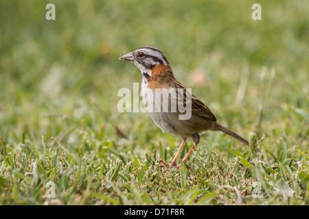 Rufous-collared Sparrow (Zonotrichia capensis) - Stock Photo