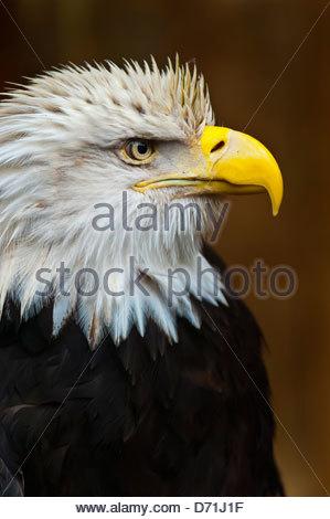 Bald eagle (Haliaeetus leucocephalus), Deer Mountain Tribal Hatchery and Eagle Center, Ketchikan, Alaska USA - Stock Photo