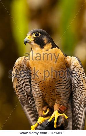 Peregrine falcon (Falco peregrinus), Deer Mountain Tribal Hatchery and Eagle Center, Ketchikan, Alaska USA - Stock Photo