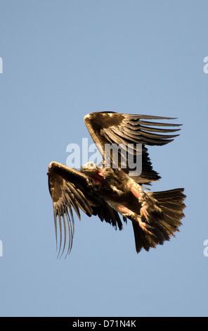 red-headed vulture,sarcogyps calvus,flying,madhya pradesh,india - Stock Photo