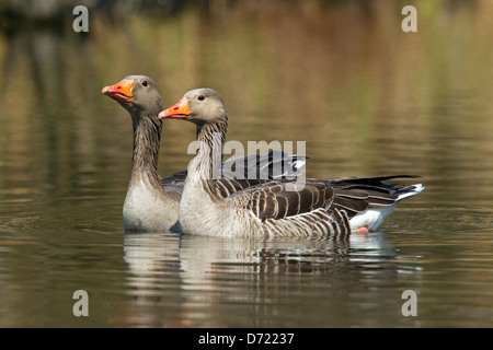 Two Greylag Geese / Graylag Goose (Anser anser) swimming in lake - Stock Photo
