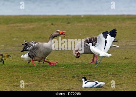 Pied Avocet (Recurvirostra avosetta) chasing away Greylag Geese / Graylag Goose (Anser anser) with goslings - Stock Photo