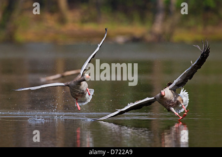 Greylag goose / graylag goose (Anser anser) chasing competitor away from lake - Stock Photo