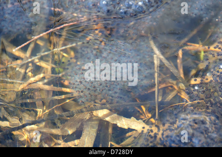 Masses of Wood Frog eggs under a very thin skim of ice in early spring, Acadia National Park, Maine. - Stock Photo