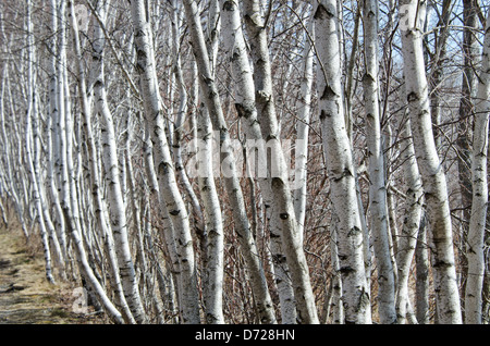 A long row of white Paper Birch saplings lines a path in Acadia National Park, Maine - Stock Photo