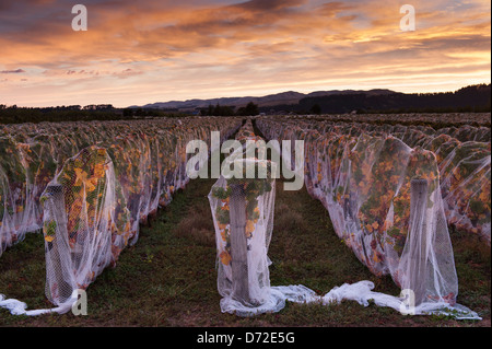 Dawn sky over rows of netted vines in a vineyard, Martinborough wine region New Zealand - Stock Photo