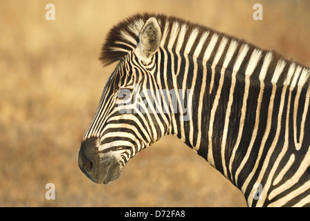 Male Burchell's Zebra (Equus burchellii) in Kruger National Park, South Africa - Stock Photo