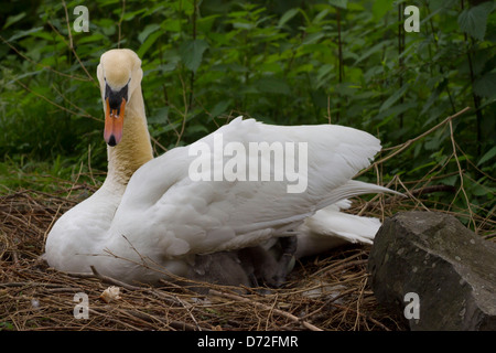 Mother swan with baby swans in her nest. - Stock Photo