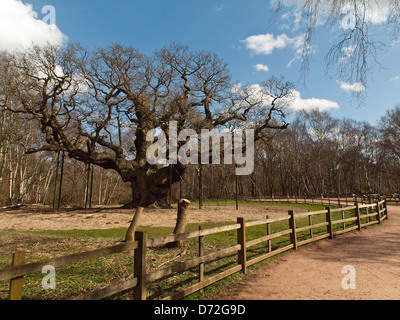 Major Oak. A massive English Oak tree located in Sherwood Forest. According to local folklore, it was Robin Hood's - Stock Photo