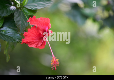 Hibiscus A National Symbol Of Malaysia Stock Photo 35600970 Alamy