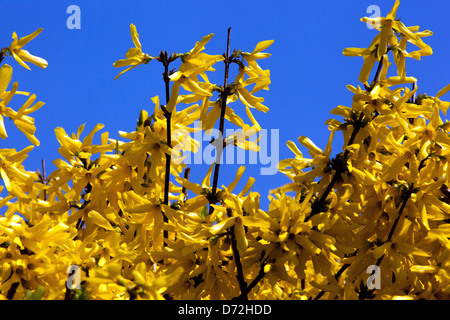 Forsythia x intermedia, garden shrub flowering in early Spring - Stock Photo