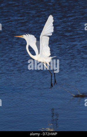 Great Egret ( Ardea alba ) taking off from water - Stock Photo