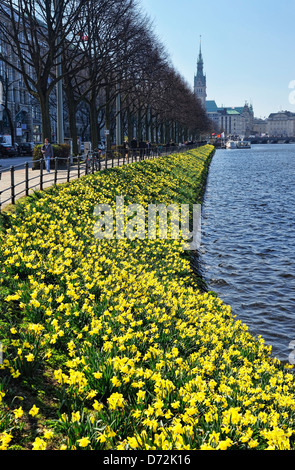Blossoming narcissi on the shore of the Inner Alster at the springtime in Hamburg, Germany, Europe - Stock Photo