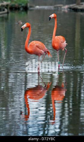 Two Caribbean Flamingos (Phoenicopterus ruber) - Stock Photo